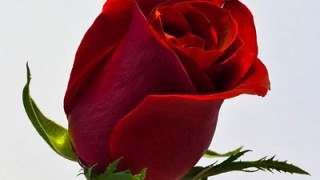 Single-red-rose