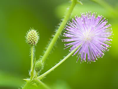 Mimosa Pudica. image source Jigzone