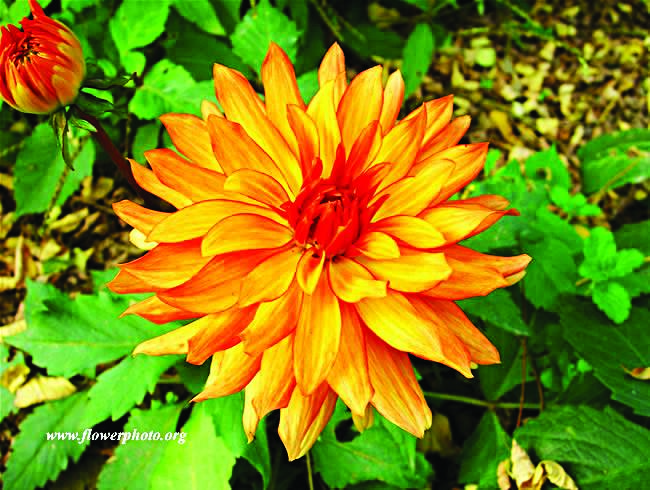 Orange dahlia for good taste, pomp, dignity. Copy