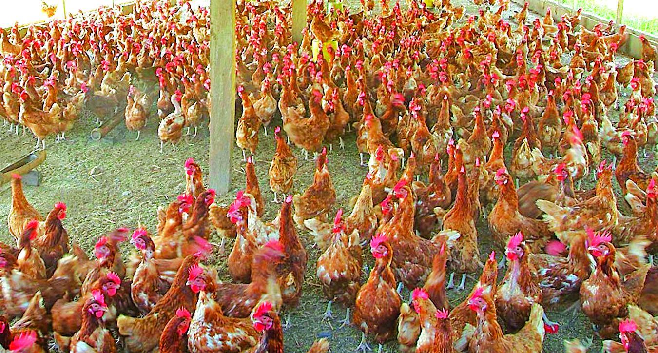 Poultry 2   15-03-15 Copy