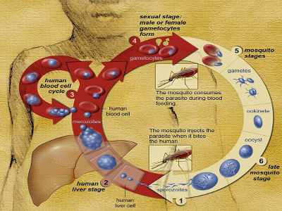 913px-Life_Cycle_of_the_Malaria_Parasite_400
