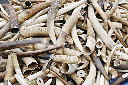 Kenya celebrated the 2015 World Wildlife Day by burning 15 tonnes of illicit ivory