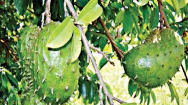 soursop cancer and evergreen tree native Soursop is the fruit of annona muricata, a broadleaf, flowering, evergreen treethe exact origin is unknown it is native to the tropical regions of the americas and is widely propagated [4].