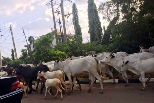 Melaye asked FCT Minister to order municipal workers to move about with tools to either slaughter cows or seize them and place heavy fines on their owners.