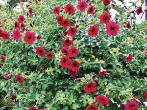 Allamanda black cherry jubilee (Brazilian red)