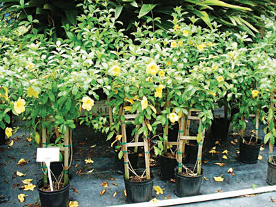 Allamanda cathartica growing in one gallon nursery pots with stakes for support.
