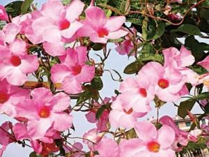 Allamanda violaceae 'cherry jubilee flowers.