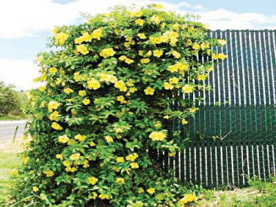 Allamanda cathartica vine cascading down side of gate for a cheerful welcome.
