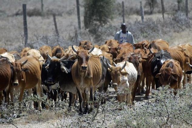 cattle raids