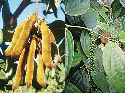 Mucuna pruriens             Piper guineense