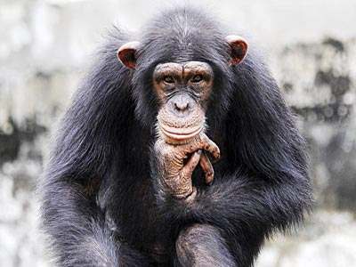 Chimpanzee...United States (US) scientists have found a gene for what's known as the major histocompatibility complex (MHC)—cell surface molecules that help the immune system recognize foreigners—that was remarkably similar to one in humans that allows infected people to keep the virus in check for decades.