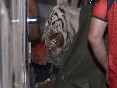 Escaped tiger