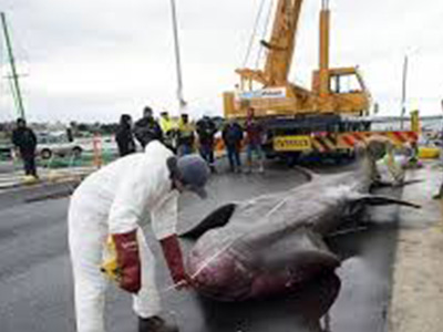 Fishermen off Australia who accidentally caught a whopping basking shark have provided scientists with a rare opportunity to study the second-biggest fish on the planet.