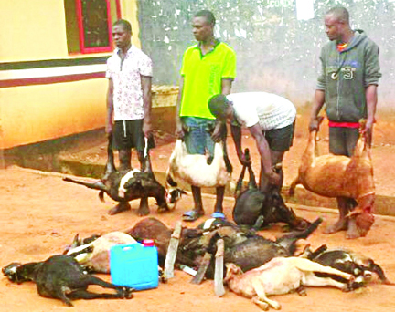 The suspects and the slaughtered goats