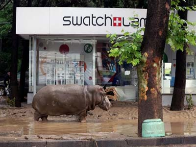 A hippopotamus walks along a flooded street in Tbilisi on June 14, 2015 PHOTO: AFP