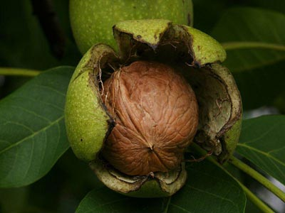 English walnut (Juglans regia)