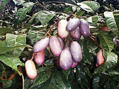 African pear (Dacryodes edulis)...  researchers have identified the compounds responsible for the anti-malarial activity of African pear, Dacryoedes edulis, and their suitability as leads for the treatment of drug resistant malaria.