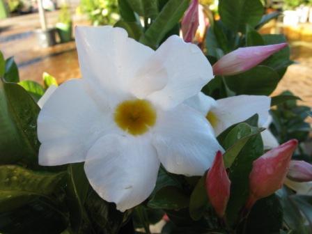 Mandevilla-Aloha-White-3