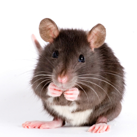 a little decorative rat isolated on white background