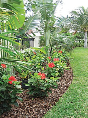 Dwarf hibiscus spp. Dominate border edging garden lawn