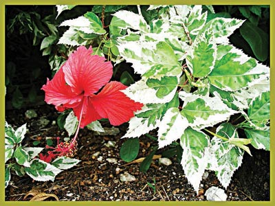 Hibiscus 'Snow Queen' with variegated foliage