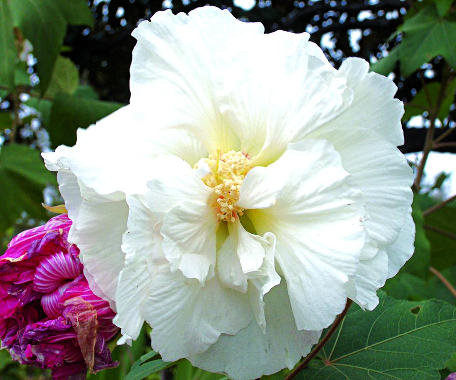 Hibiscus Plant That Blooms All Yearsaturday Magazine The Guardian