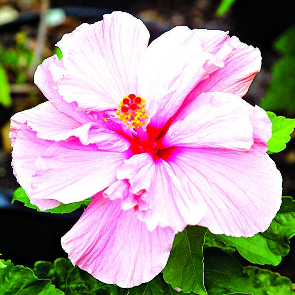 Hibiscus: Plant That Blooms All Year — Saturday Magazine ...