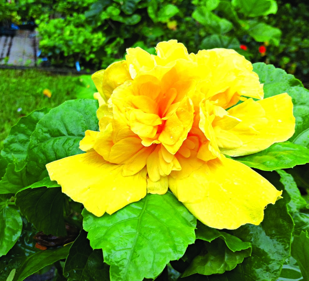 Hibiscus plant that blooms all year saturday magazine the hibiscus plant that blooms all year saturday magazine the guardian nigeria newspaper nigeria and world news izmirmasajfo Image collections