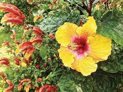 7.-Yellow-hibiscus--shows-prominence-in-border--amidst-companion--shrimp--plants-(Justicia-brandegeeana)-Copy
