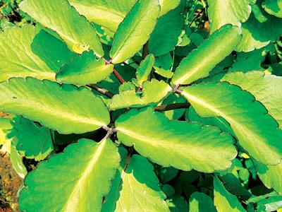 Bryophyllum-