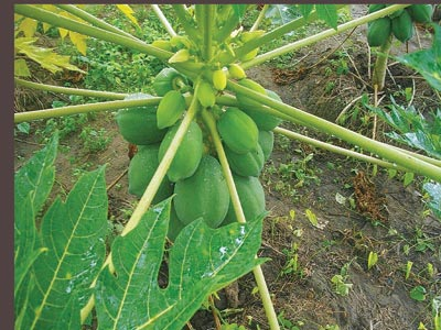 Thailand Dwarf Paw paw tree; Inset (branded Paw paw fruit on display)