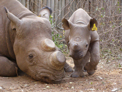 De Horned Rhino. PHOTO: www.defenceweb.co.za