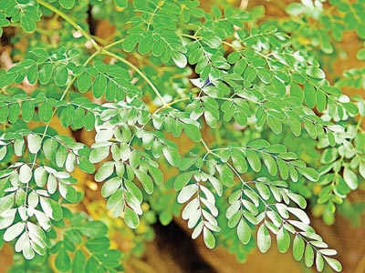 Moringa oleifera plant showing the twigs and leaves