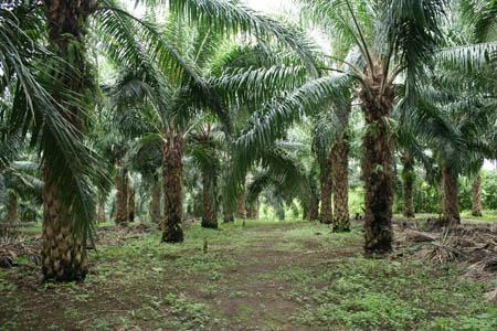 Oil Plantation