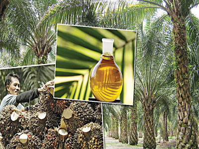 Oil palm plantation in Malaysia