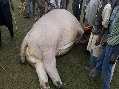 Head of Forestry unit of Yamaltu/Deba Local Governmen Council in Gombe on Thursday confirmed the killing of a notorious Hippopotamus in Dadinkowa dam. Photo credit africanspotlight
