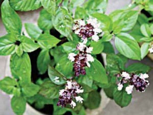 Thai sweet basil(Horopa) flowering  with  purple –green leaves