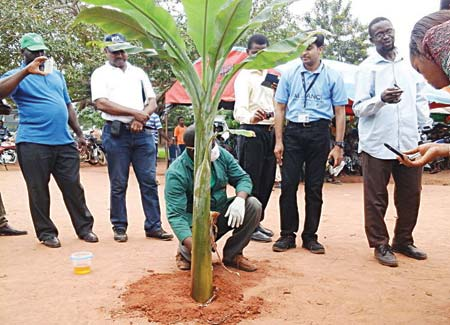 An official of International Institute of Tropical Agriculture (IITA), displaying method of eradicating BBTD-affected plants during the field day.