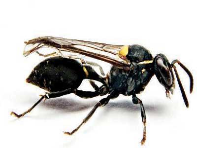 Brazilian-social-wasp-1-Copy