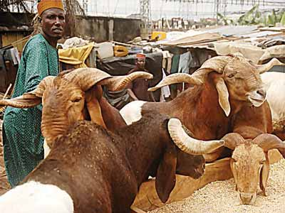 Rams at a market in Lagos...yesterday                                                                                                                                                                                                       PHOTO: CHARLES OKOLO