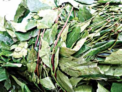 Health Benefits Of Gongronema latifolium (Utazi) | The Guardian