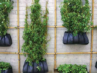 Climbing Green Walls don't always need high-tech planting systems or trays