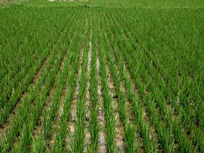 Olam-Rice-Farm
