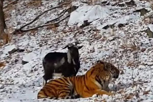 goat-and-tiger