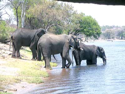 Elephants at the Cross River National Park, recently