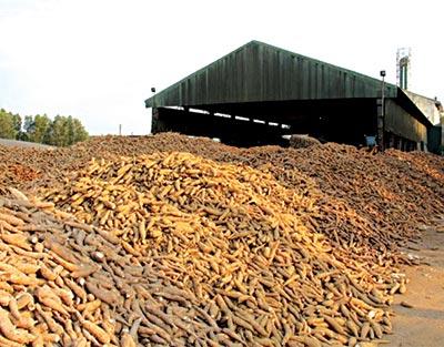 A cassava processing facility