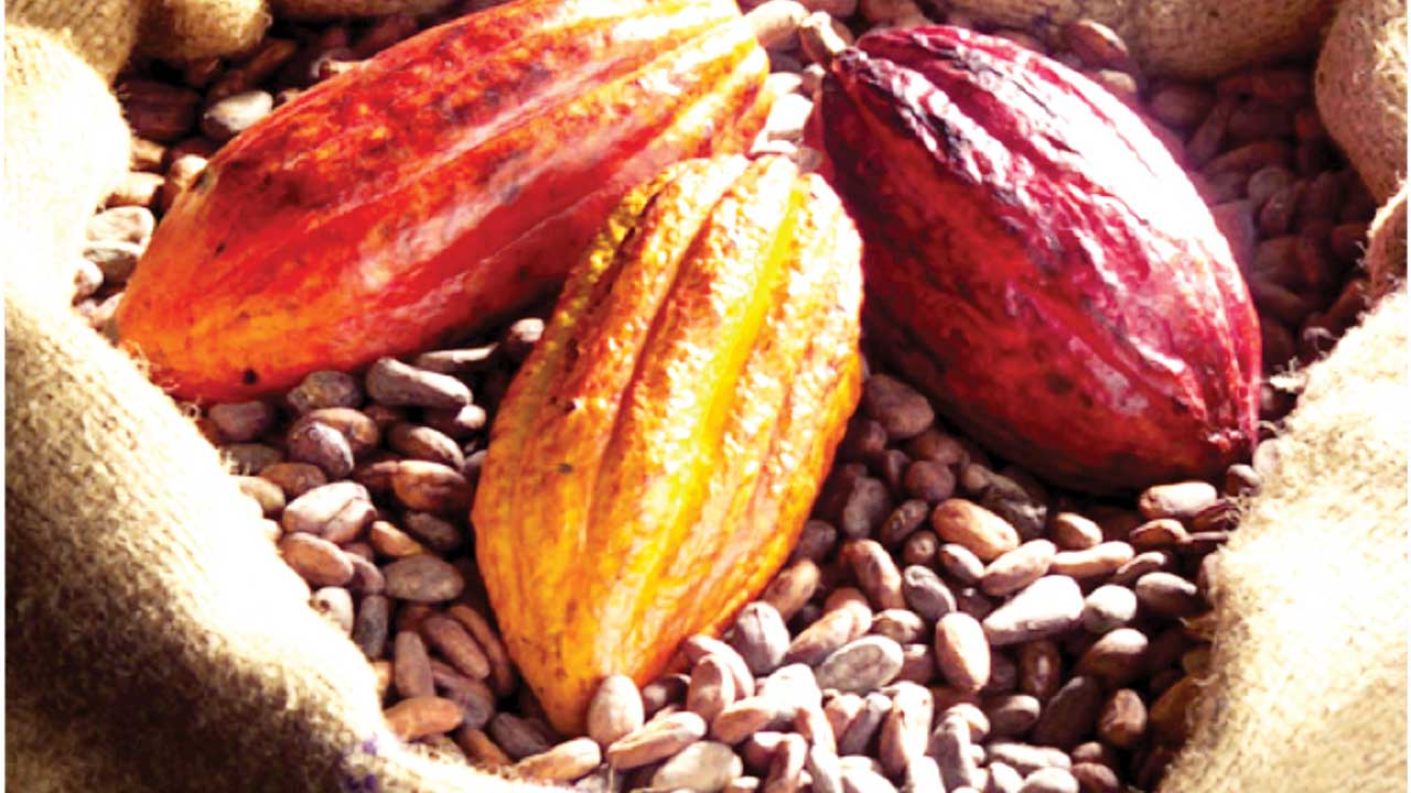 coco farming Therefore, cocoa is grown in the hot and humid regions of africa (mainly in forest  regions), central and south  farmers always remove the following trees:.