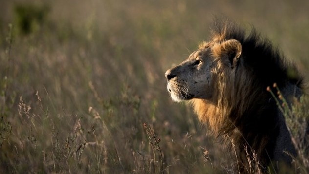 FILE - In this Saturday, Jan. 25, 2014 file photo, a male lion looks out over the Savannah at dusk in Nairobi National Park in Kenya. (AP Photo/Ben Curtis, File)