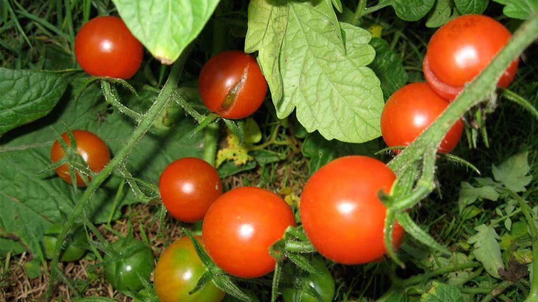 Tomato-Farm