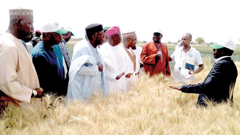 Minister of Agriculture and Rural Development, Chief Audu Ogbe, (third left), Gov. Abdullahi Ganduje of Kano State and Gov. Abubakar Bagudu of Kebbu State (fifth left) being taken through the wheat farm at Alkamawa, Kano State during the Farmers' Wheat field day.